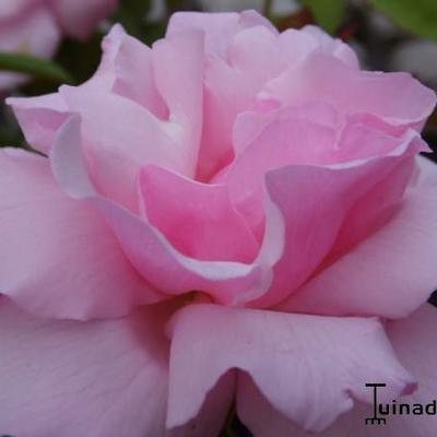 Rosa 'Kathleen Harrop' -