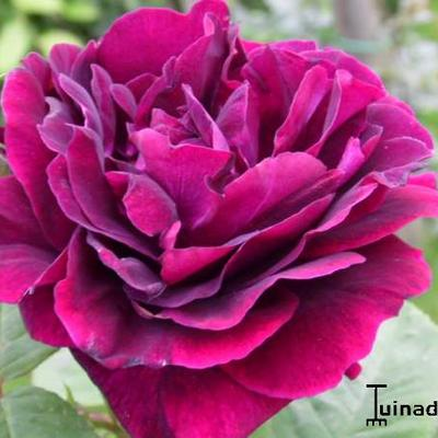 Rosa 'Souvenir du Dr Jamain' -
