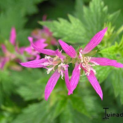 Geranium x oxonianum 'Zena Grant' -