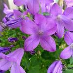 Campanula Addenda 'Blue Star' -