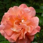 Rosa 'Westerland'  - Roos, Klimroos - Rosa 'Westerland'