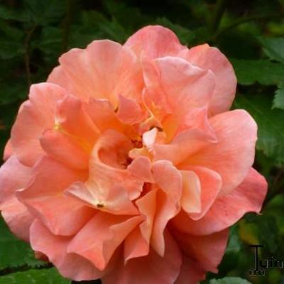 Rosa 'Westerland'  -