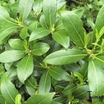 Skimmia japonica 'Kew White' - Skimmia - Skimmia japonica 'Kew White'