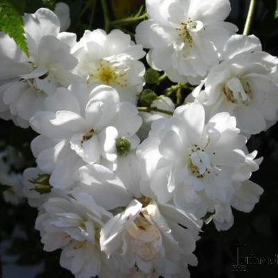 Rosa 'Guirlande d'Amour' -