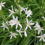 Graslelie - Anthericum ramosum