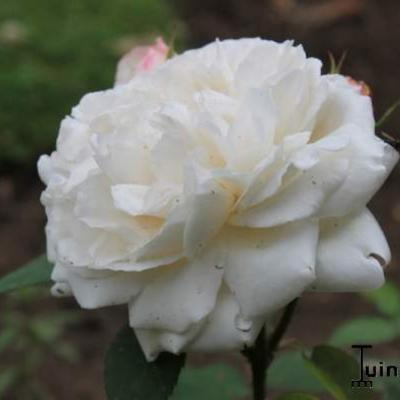 Rosa 'Winchester Cathedral' -