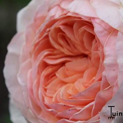 Rosa 'William Morris' -