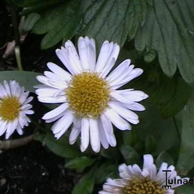 Aster alpinus 'White Beauty' -