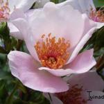 Rosa 'Astronomia' - Roos
