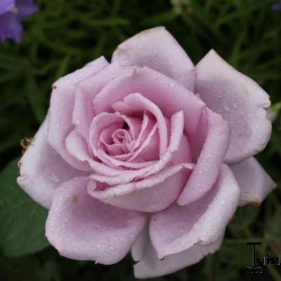Rosa 'Blue Moon' - Roos
