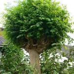 Robinia pseudoacacia 'Umbraculifera' - Bolacacia - Robinia pseudoacacia 'Umbraculifera'
