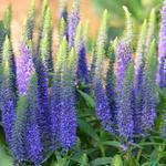 Ereprijs - Veronica spicata 'Ulster Dwarf Blue'