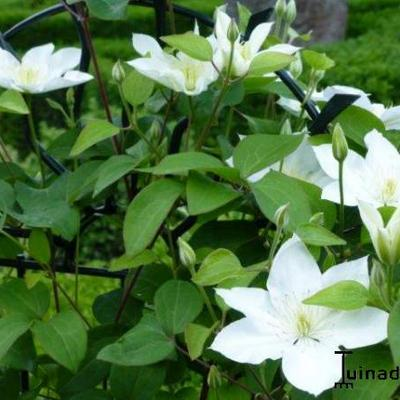 Clematis 'SoMany White Flowers' - Bosrank