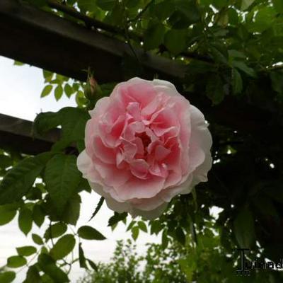 Rosa 'Kir Royal' -