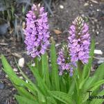 Dactylorhiza maculata - Orchidee, Gevlekte orchis