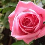 Rosa 'Coral Dawn' - Roos, klimroos - Rosa 'Coral Dawn'