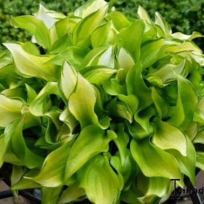 Hosta 'Cracker Crumbs' -