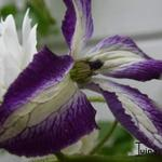 Clematis viticella  'I Am Lady J' - Bosrank