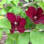 Bosrank - Clematis 'Rouge Cardinal'