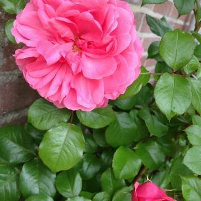 Rosa 'Berleburg' -