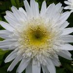 Leucanthemum 'Wirral Supreme' - Margriet - Leucanthemum 'Wirral Supreme'