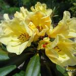 Rhododendron ´Nancy Evans´ - Rododendron