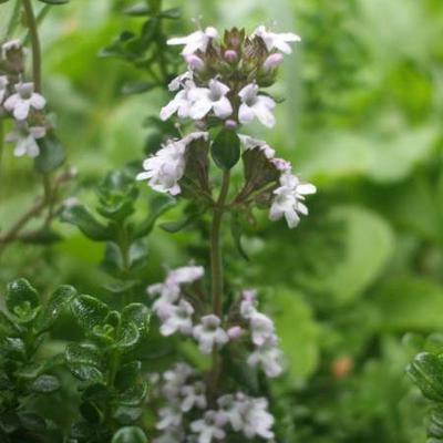 Thymus 'Duftkissen' -