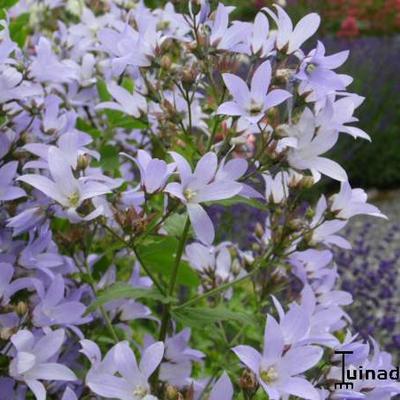Campanula lactiflora 'Senior' -