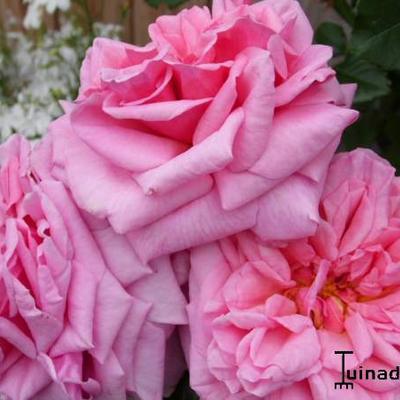 Rosa 'Aloha' Boerner -