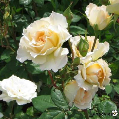 Rosa 'Poustinia' -