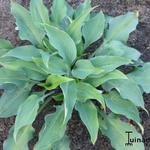 Hosta 'Dewed Steel' -