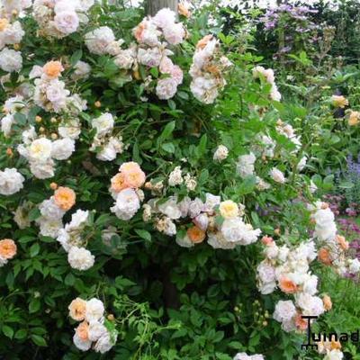Rosa 'Ghislaine de Feligonde' -