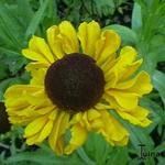 Zonnekruid - Helenium bigelovii 'The Bishop'