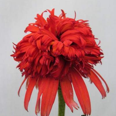 Echinacea purpurea 'Summer Samba' -
