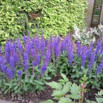 Salvia nemorosa 'Sensation Deep Blue' -