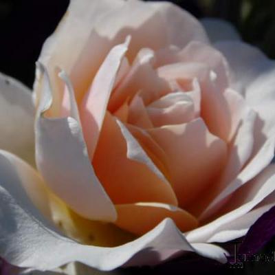 Rosa 'Ginger Syllabub' -