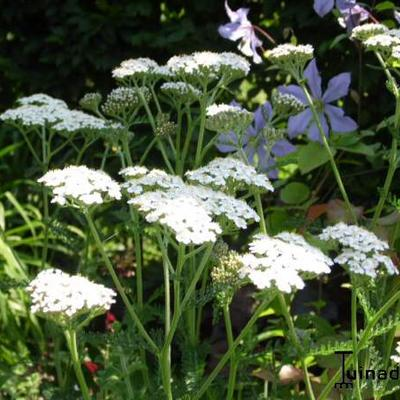 Achillea millefolium - Duizendblad - Achillea millefolium