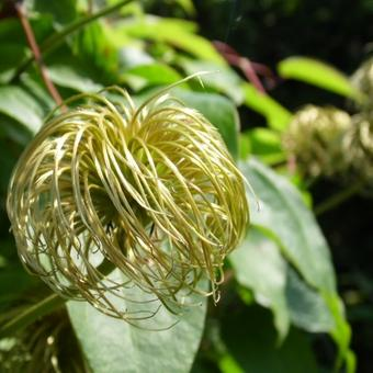 Clematis 'Lawsoniana'