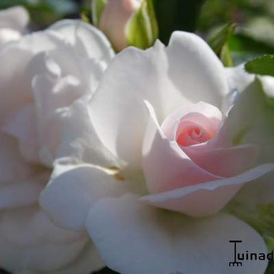 Rosa 'Aspirin-Rose' -