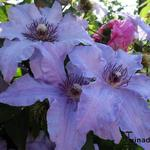 Clematis 'The First Lady' - Bosrank