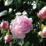 Rosa 'New Dawn' - Roos, klimroos - Rosa 'New Dawn'