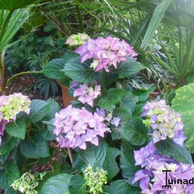 Hydrangea macrophylla 'Early Blue' -