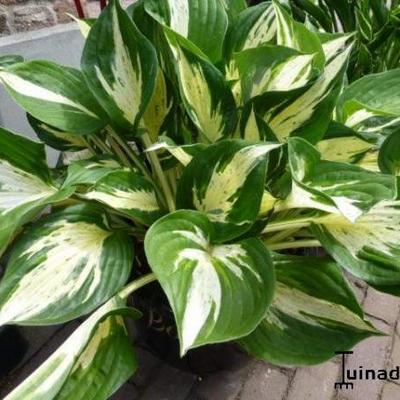 Hartlelie/Funkia - Hosta 'Revolution'