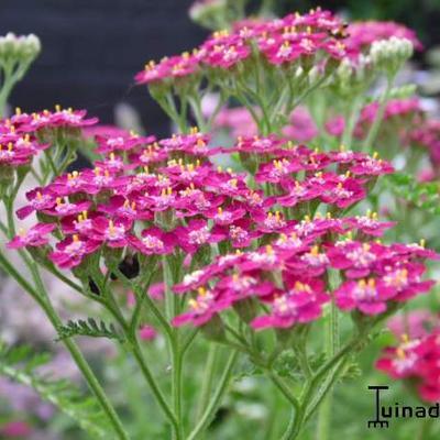 Achillea millefolium 'Cerise Queen' - Duizendblad - Achillea millefolium 'Cerise Queen'