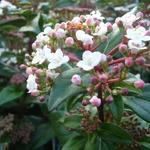 Sneeuwbal - Viburnum tinus 'Eve Price'