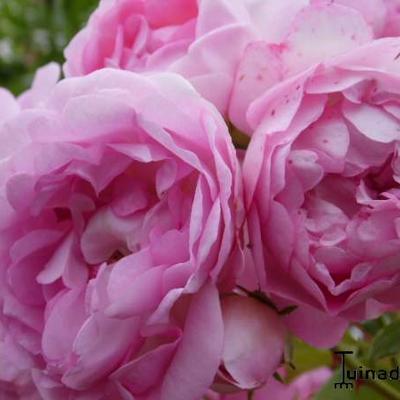 Rosa 'Jasmina' -