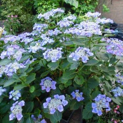 Hydrangea macrophylla 'Teller Blue' -