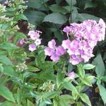 Vlambloem, Floks - Phlox paniculata 'Lilac Time'