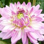 Dahlia 'Ace Summer Emotions' - Dahlia
