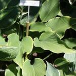 Hosta 'Abba Dabba Do' - Hartlelie